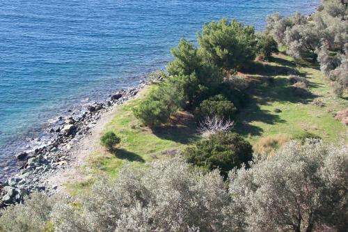 Olive trees by the sea