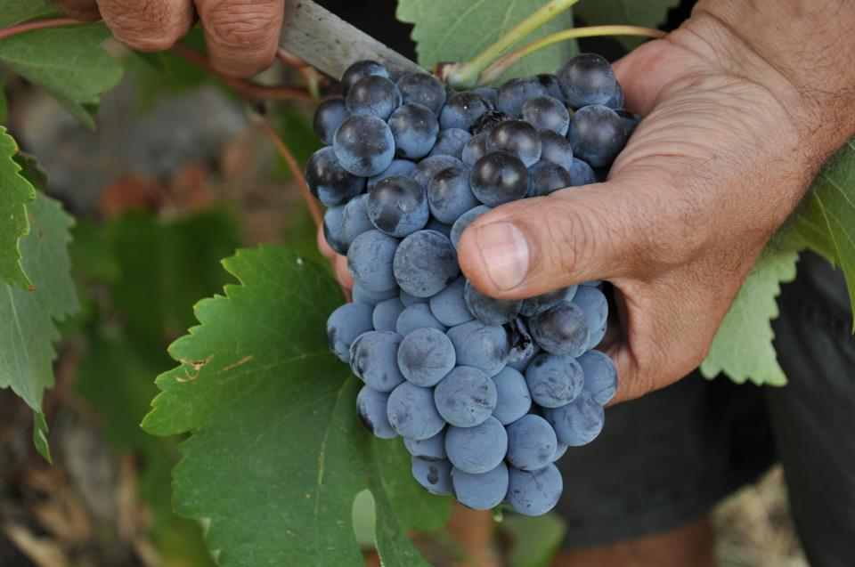Greek grape harvest 2012