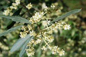 BLOSSOM OLIVE TREE