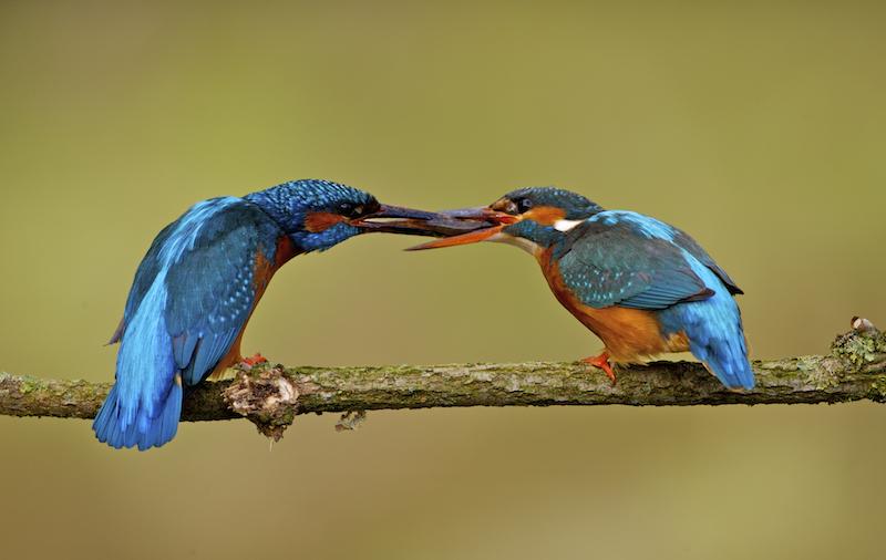 Courtship feeding. Halcyon River 2008